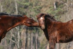 Pferdenkuß Lizenzfreies Stockfoto