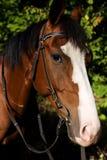 Pferdenmündung mit crub Stockfotografie