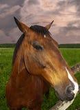Pferdennahaufnahme Lizenzfreies Stockfoto