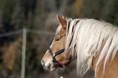 Pferdenportrait Stockfoto