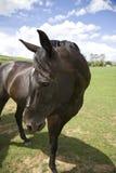 Pferdenportrait Lizenzfreie Stockfotografie
