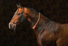 Pferdenportrait auf dunklem Hintergrund Lizenzfreies Stockfoto