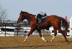 Pferdentraining Stockfoto