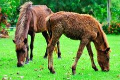 Pferdenzutatgras Stockfotografie