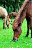 Pferdenzutatgras Stockfotos
