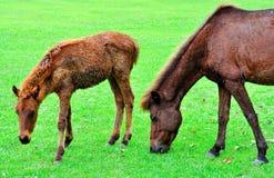 Pferdenzutatgras Lizenzfreie Stockfotos