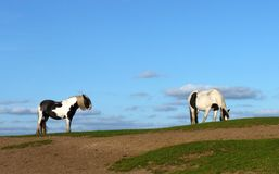 Pferdepaare lizenzfreie stockfotos