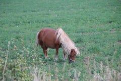 Pferdepony, das in der Wiese weiden lässt lizenzfreies stockbild