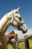 Pferdeporträt Lizenzfreies Stockbild