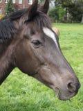 Pferdeportrait Lizenzfreie Stockbilder
