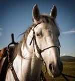 Pferdeportrait Stockfoto