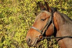 Pferdeportrait Lizenzfreie Stockfotografie