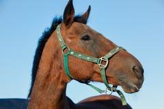 Pferdeportrait auf blauem Himmel des Hintergrundes stockfotos