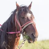 Pferdeportrait auf Natur Stockfotografie