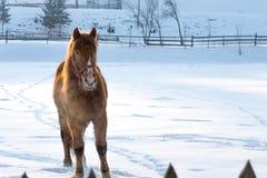 Pferdeportrait auf Schnee im Winter Lizenzfreies Stockfoto
