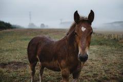 Pferdeportrait, der die Kamera in der nebeligen Landschaft betrachtet lizenzfreies stockfoto