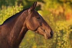 Pferdeportrait geben auf einem Feld in Argentinien frei Stockbild