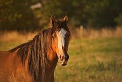 Pferdeportrait geben auf einem Feld in Argentinien frei Lizenzfreies Stockbild