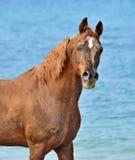 Pferdeportrait gegen das Meer Stockbild