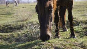 Pferdeportrait wird auf einer Wiese im Dorf weiden lassen stock video