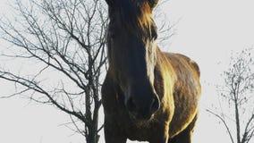 Pferdeportrait wird auf einer Wiese im Dorf weiden lassen stock video footage