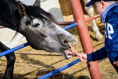 Pferderanch F?tterungspferd des Jungen lizenzfreies stockbild
