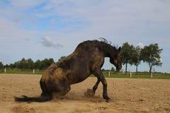 Pferderollen im Sand Sommer Stockfotos