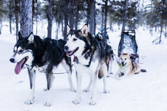 Pferdeschlitten am Schlittenhund Lizenzfreie Stockfotografie