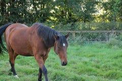 Pferdesuffolk-Herbst stockfotos