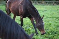 Pferdesuffolk-Herbst stockfoto