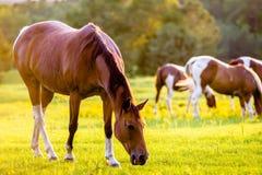 Pferdetieraufstellung auf einem Ackerland bei Sonnenuntergang Lizenzfreie Stockbilder