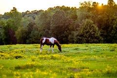 Pferdetieraufstellung auf einem Ackerland bei Sonnenuntergang Stockfoto
