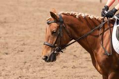Pferdetraining im Stall Hauptnahaufnahme lizenzfreie stockbilder