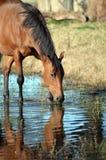 Pferdetrinkendes und pawing Wasser im Fluss Stockbilder
