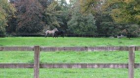 Pferdeverengung auf einem Feld des Grases lizenzfreie stockfotografie