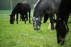 Pferdeweide im Frühjahr weiden lassen lizenzfreie stockfotografie