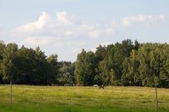 Pferdeweide am Rand des Waldes Stockfoto
