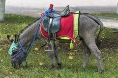 Pferdezuchtpony Lizenzfreie Stockfotos