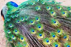 Påfågel Royaltyfri Fotografi
