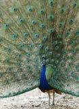 Påfågel som fläktar dess fjäder Fotografering för Bildbyråer