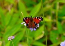 Påfågelfjäril på den lösa blomman Royaltyfri Bild