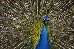Påfågeln (Pavocristatus) i Campo del Moro arbeta i trädgården, Madrid, Spai Arkivbild