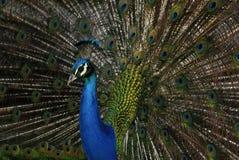 Påfågeln (Pavocristatus) i Campo del Moro arbeta i trädgården, Madrid, Spai Arkivfoton