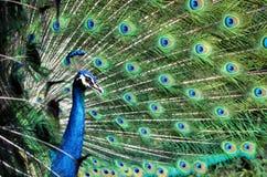 Påfågeln som visar av, befjädrar från sidovinkel Arkivbild