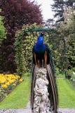 Påfågelsammanträde på statyn Royaltyfri Fotografi