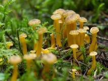 Pfifferlinge in einem schwedischen Wald lizenzfreie stockbilder