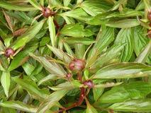 Pfingstrose blüht Blüte und Blätter, Litauen Lizenzfreies Stockbild