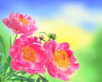Pfingstrose blüht Blumenstrauß über unscharfem Naturhintergrund Stockbild
