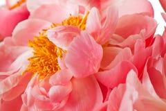 Pfingstrose-Blüte getrennt auf einem weißen Hintergrund Stockbilder