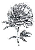 Pfingstrose, Blume, Stich, Zeichnung, Vektor, Illustration Stockfoto